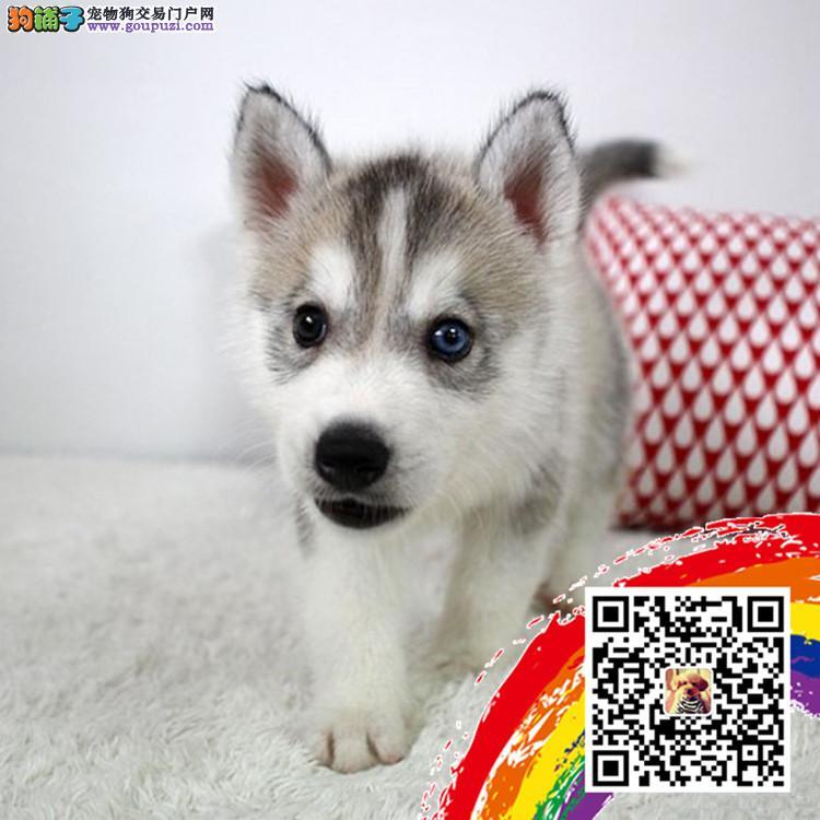 三火双蓝眼小哈雪橇犬哈士奇幼犬纯种健康签合同