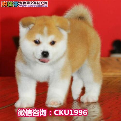 高品质日系 秋田犬幼崽出售 保纯保健康 可签协议