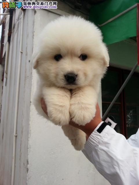 上海哪里有大白熊卖 精品大白熊出售 大白熊图片