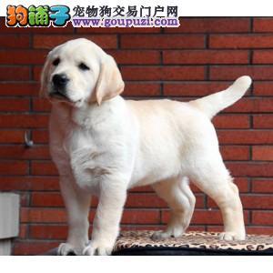 上海哪里有拉布拉多卖 精品拉布拉多出售 拉布拉多图片