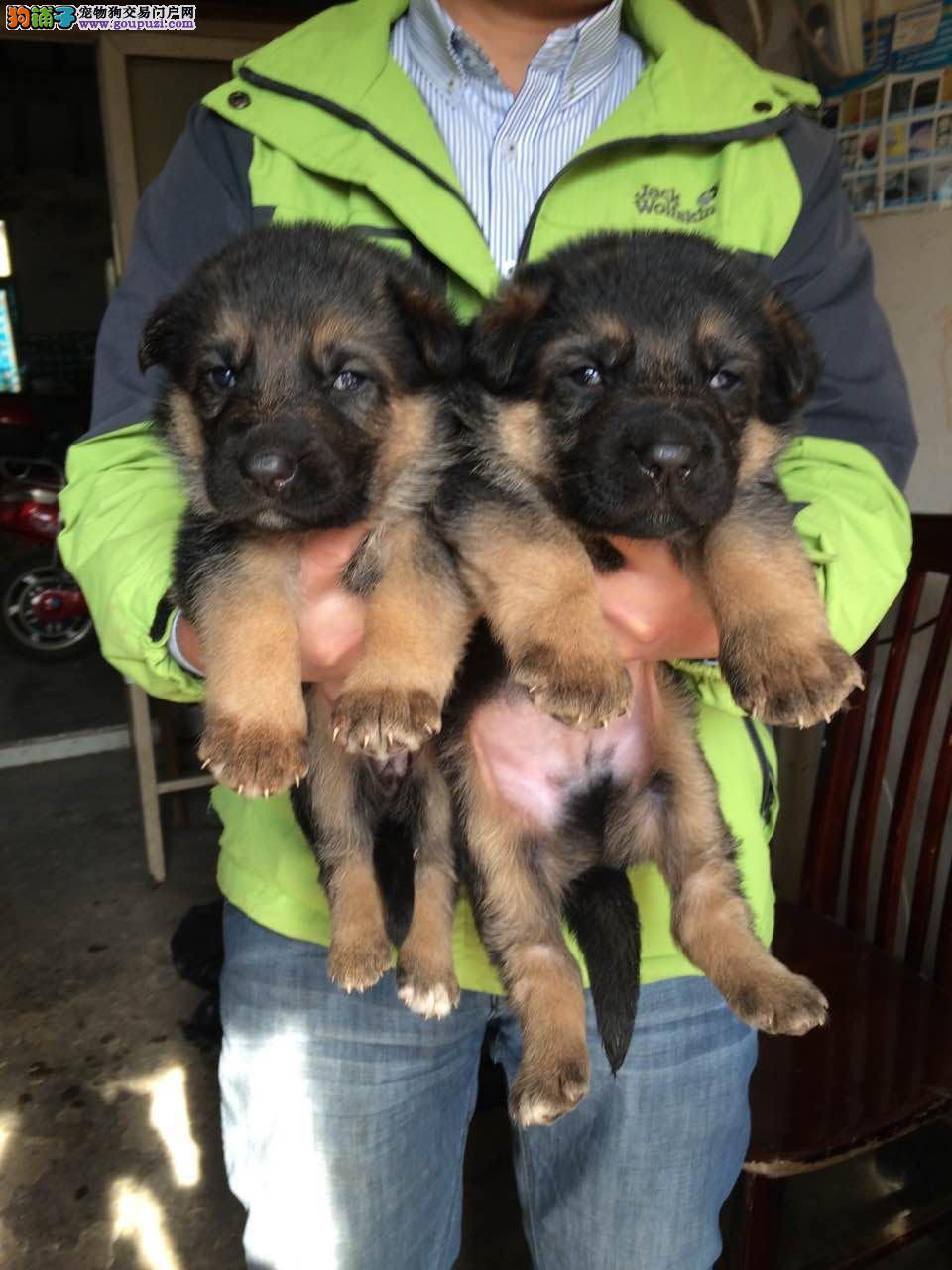 上海哪里有德国牧羊犬卖 精品德国牧羊犬出售 图片