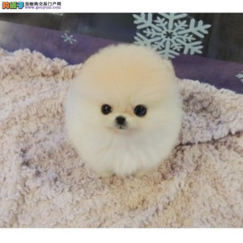 全国博美犬之星★ 韩国引进冠军级球体博美犬在这里