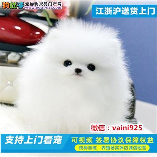 出售纯种博美幼犬 纯种血系 质保健康