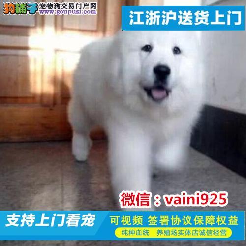 纯种大白熊幼犬终身品质保障 品相极佳 保健康