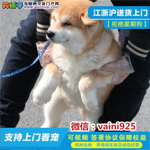 十年专业打造纯种秋田犬公母全三针齐保健康