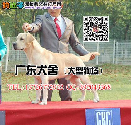 广东犬舍 大型狗场 纯种拉布拉多犬专业养殖基地