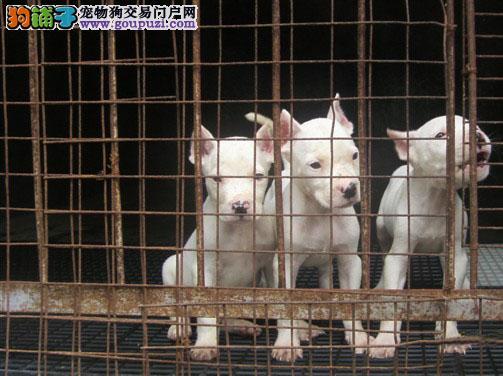 上海市青浦区杜高犬出售青浦区杜高犬狗场价
