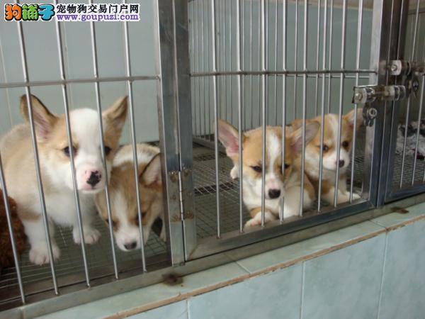 上海市青浦区柯基犬出售青浦区柯基犬狗场价