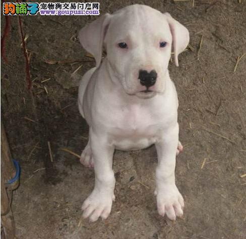 普陀区杜高犬繁殖基地直销价格照片多少
