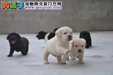 赛级后代纯种血统拉布拉多幼犬出售中