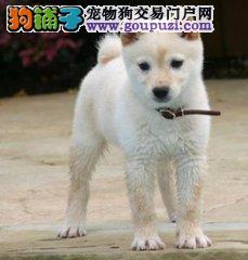 cku认证专业繁殖极品柴犬保证质量 信誉第一