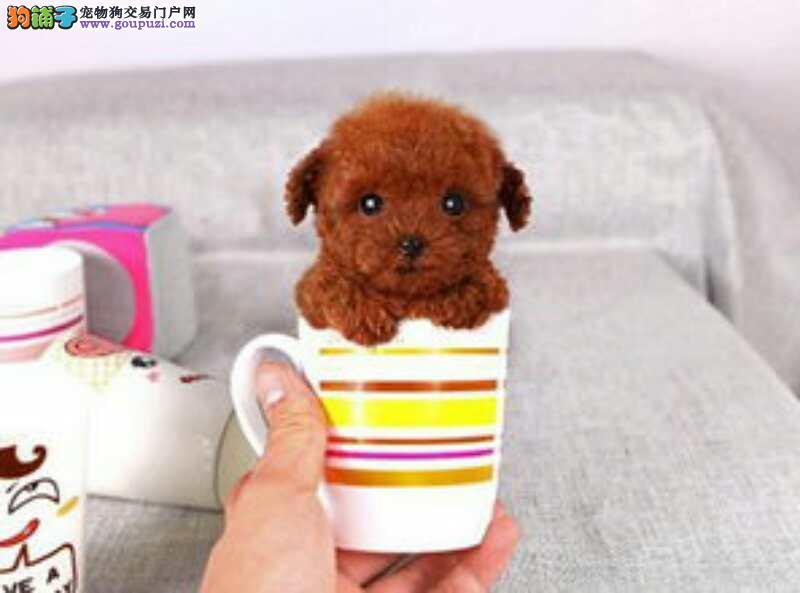 可爱博美 吉娃娃 泰迪茶杯犬出售可视频