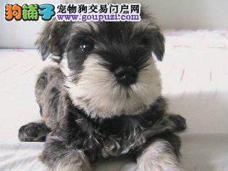 超级可爱雪纳瑞犬火爆销售中 加微信 看视频
