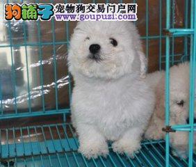 棉花糖版大眼睛甜美脸型比熊幼犬 包纯种