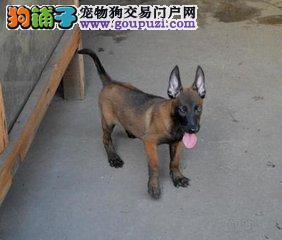cku认证专业繁殖极品马犬 可视频