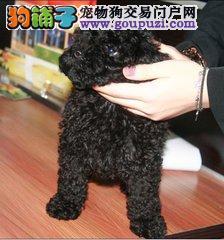 纯种 贵宾犬 幼犬出售保证健康 可上门签协议