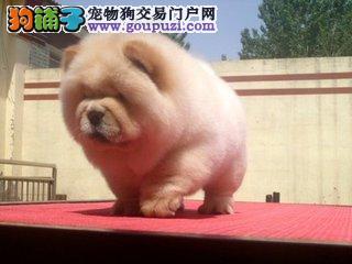出售纯种松狮幼犬一一包养活签协议