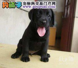 特价拉布拉多幼犬三包保证健康纯种售后 可视频