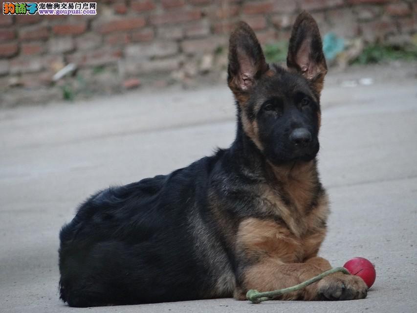 大头锤系德国牧羊犬,雄霸、大锤血统,顶级锤系德牧