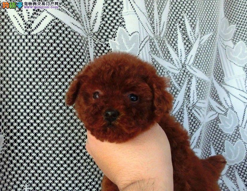 小体型泰迪犬 品相超好 颜色全数量多只 可以来场挑