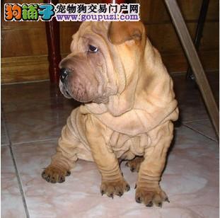 赛级沙皮狗幼犬出售  证件齐全  保证健康