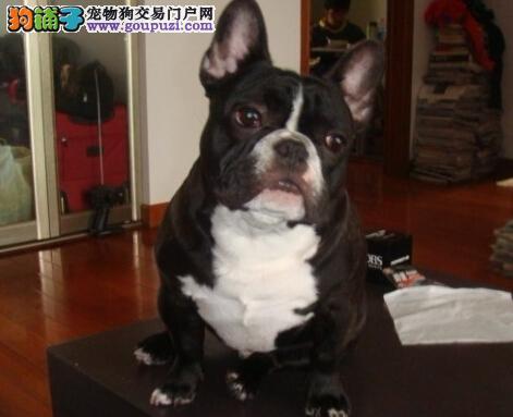 实拍家养大耳朵法牛宝宝 纯白色。 黑白花幼犬出售