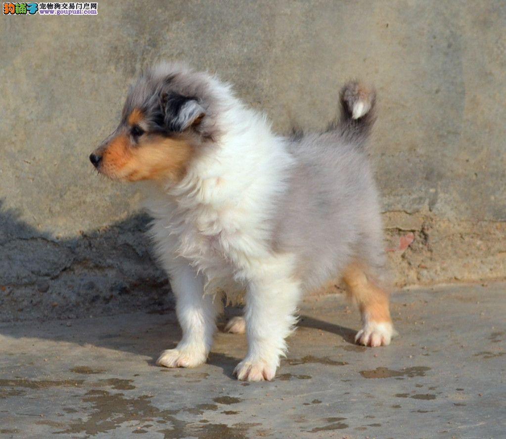 出售纯种苏格兰牧羊犬 赛级血统品相完美品质绝对保障