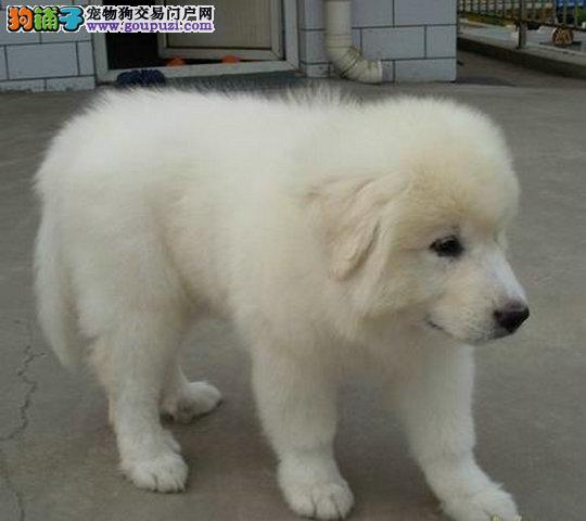 纯种大白熊犬 健康有保障