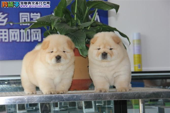 家庭繁殖大肉嘴松狮 金黄色 奶白色 黑色可挑选