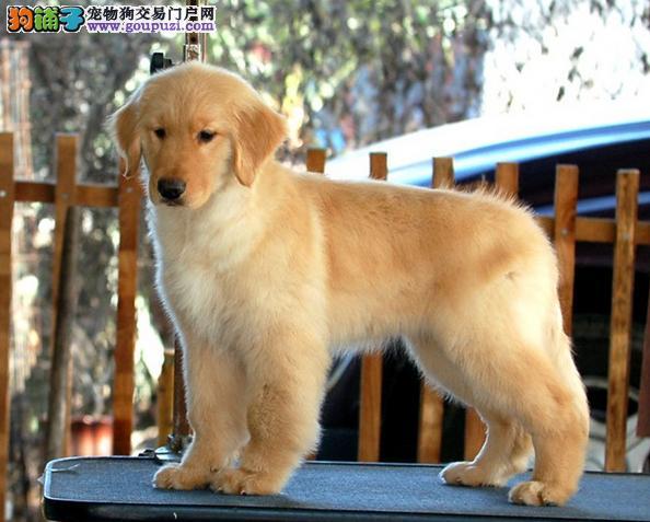 高品质金毛幼犬出售 保证血统健康