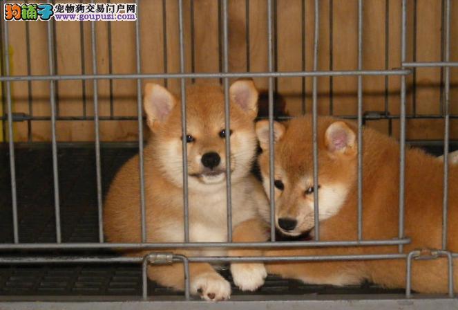 精品柴犬幼犬出售 已做疫苗驱虫