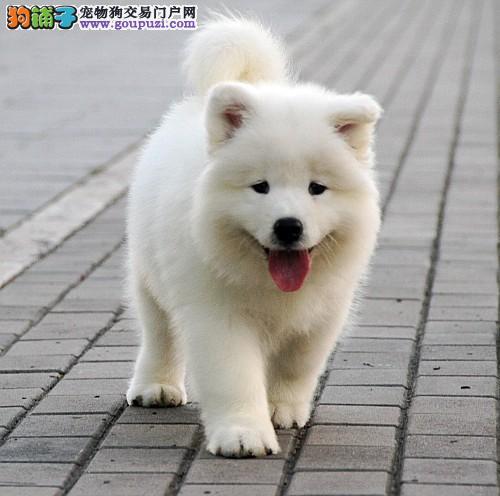 纯种萨摩耶犬  种公外配  签协议  支持送货上门