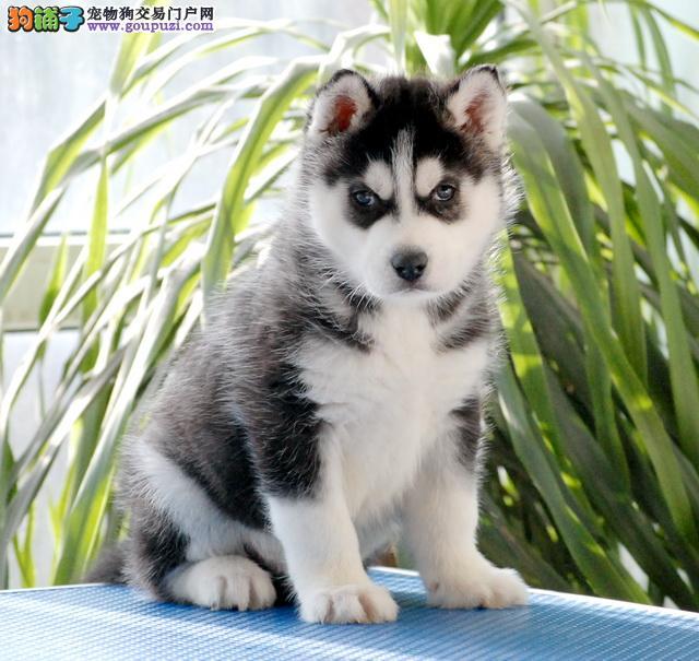 正规犬舍繁殖纯种 赛级哈士奇保纯种健康