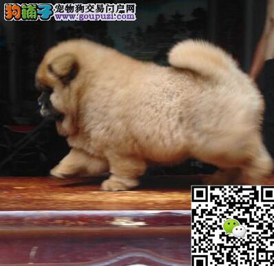 出售松狮幼犬 憨厚的肉嘴松狮幼犬找新家 包健康