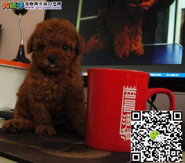 小巧玲珑贵宾犬 茶杯玩具贵宾犬出售血统纯正公母都有