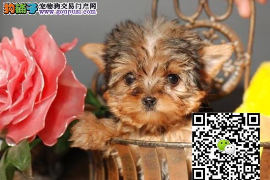 超小体约克夏茶杯犬 玩具体纯种大眼睛 金头银背袖珍犬