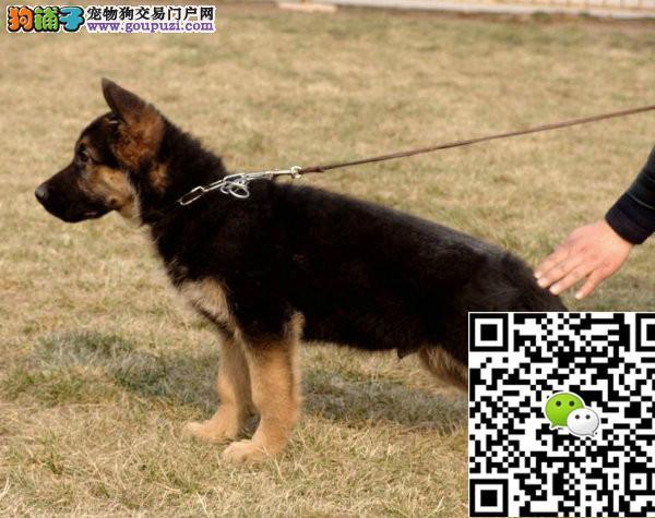 纯种高贵血统 名贵血系德牧幼犬 包纯种保健康