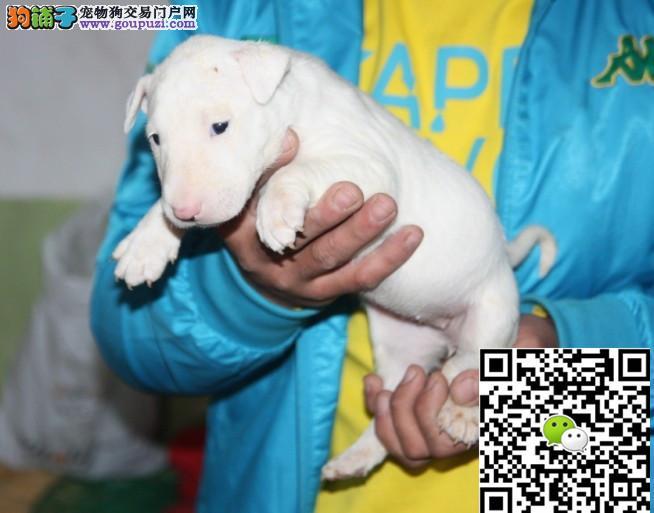 纯种牛头梗幼犬,颜色均有,疫苗齐全,签署健康协议