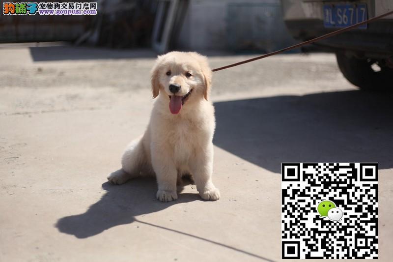出售高品质纯种大头宽嘴金毛幼犬 公母都有 欢迎选购