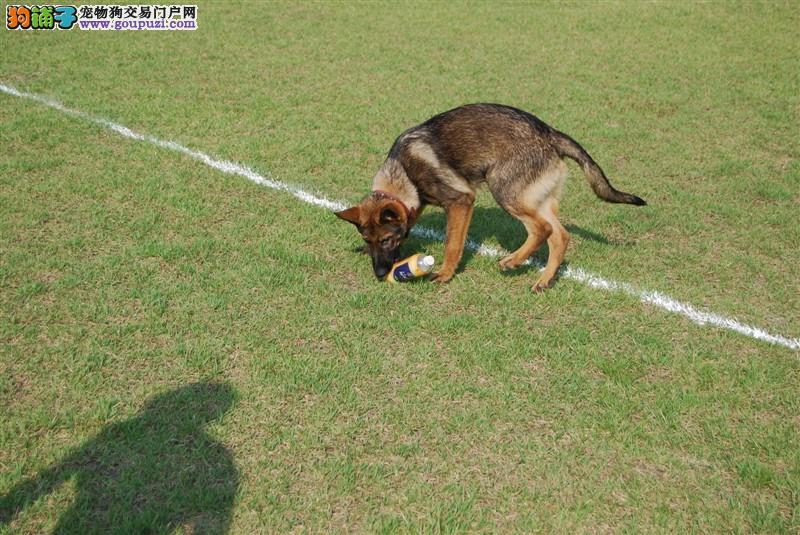 纯种马犬  幼犬出售  种公外配  成年犬出售