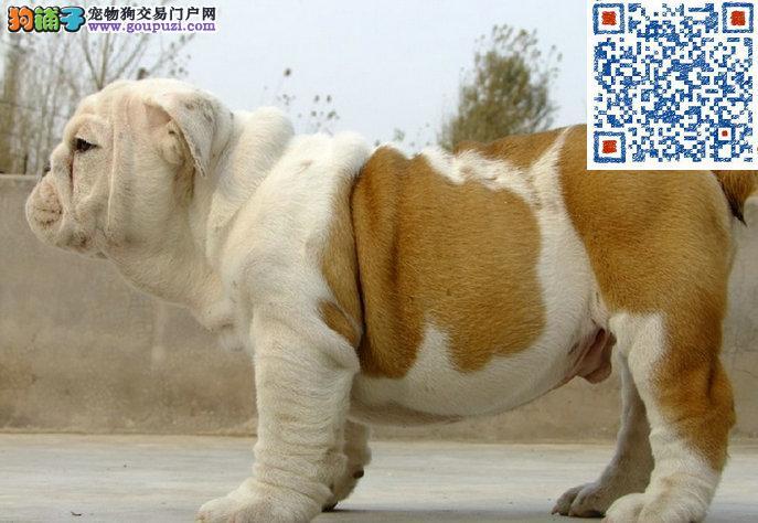 英国斗牛幼犬出售 海量实物照片 包纯种健康上门挑选