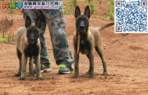 包健康终身纯种赛级马犬保证,父母可见
