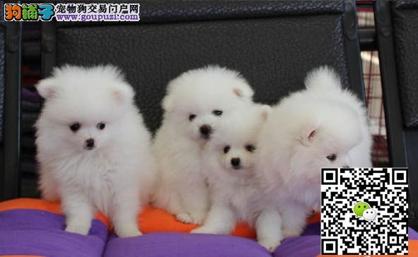 出售博美犬、哈多利球体博美俊介犬 保纯种保健康