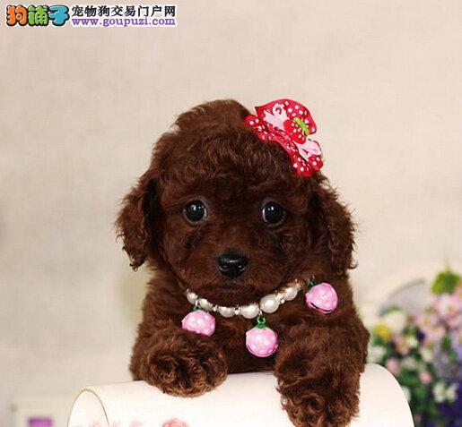 泰迪犬找新家 疫苗齐全包养活 提供养狗指导