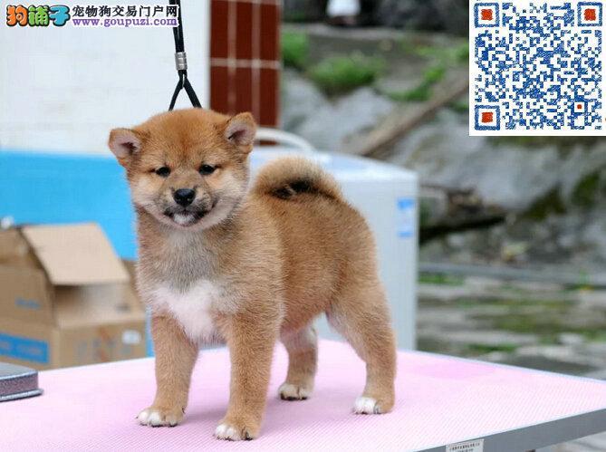 纯种柴犬出售 聪明忠诚 品相一流 赛级品质健康