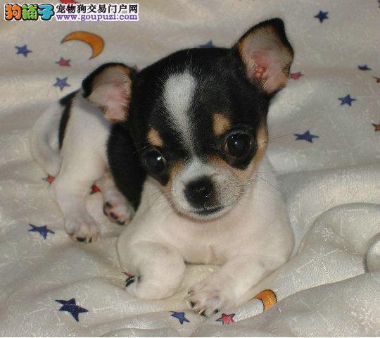 极品纯种吉娃娃幼犬出售 签协议 保终身 色样齐全