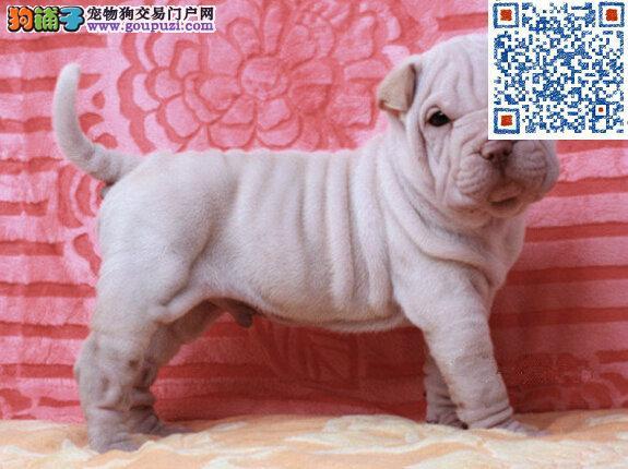 赛级沙皮狗幼犬出售证件齐全保证健康