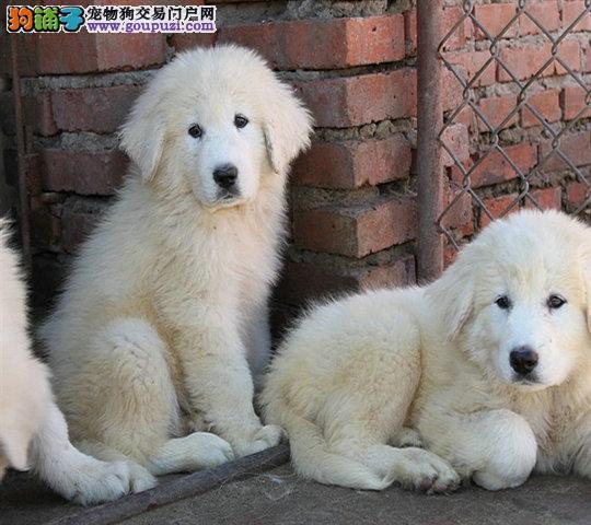 纯种大白熊犬、健康有保障丨签署协议支持送上门