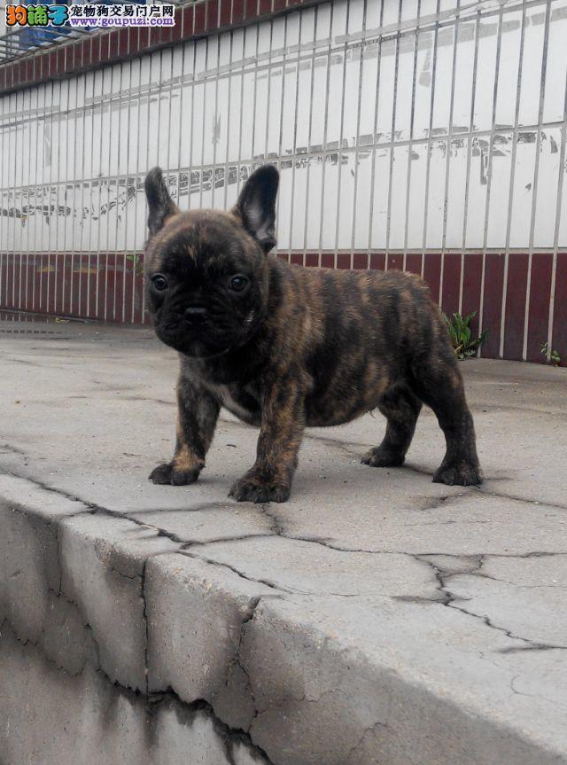 正规犬舍无菌繁殖法国斗牛犬保纯种健康签协议