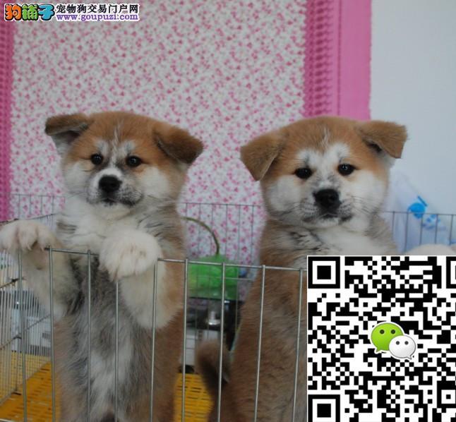 出售纯种日本秋田犬超级可爱可上门多只可选健康有保证